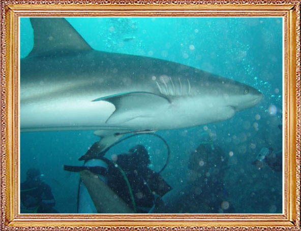 Steven-Dives-with-Sharks-58